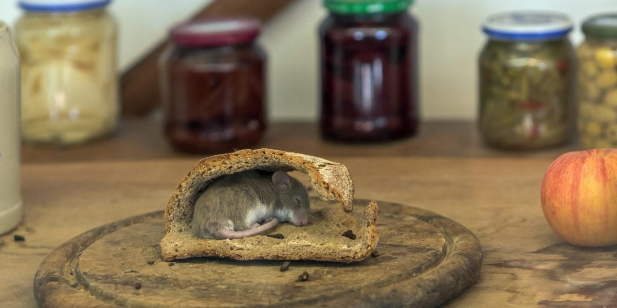 rat mouse in food table