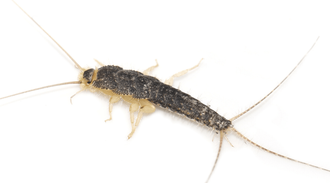 silverfish on white background