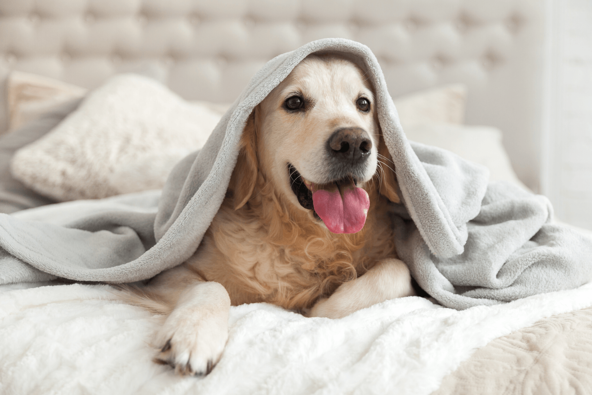 Dog on bed with blanket happy
