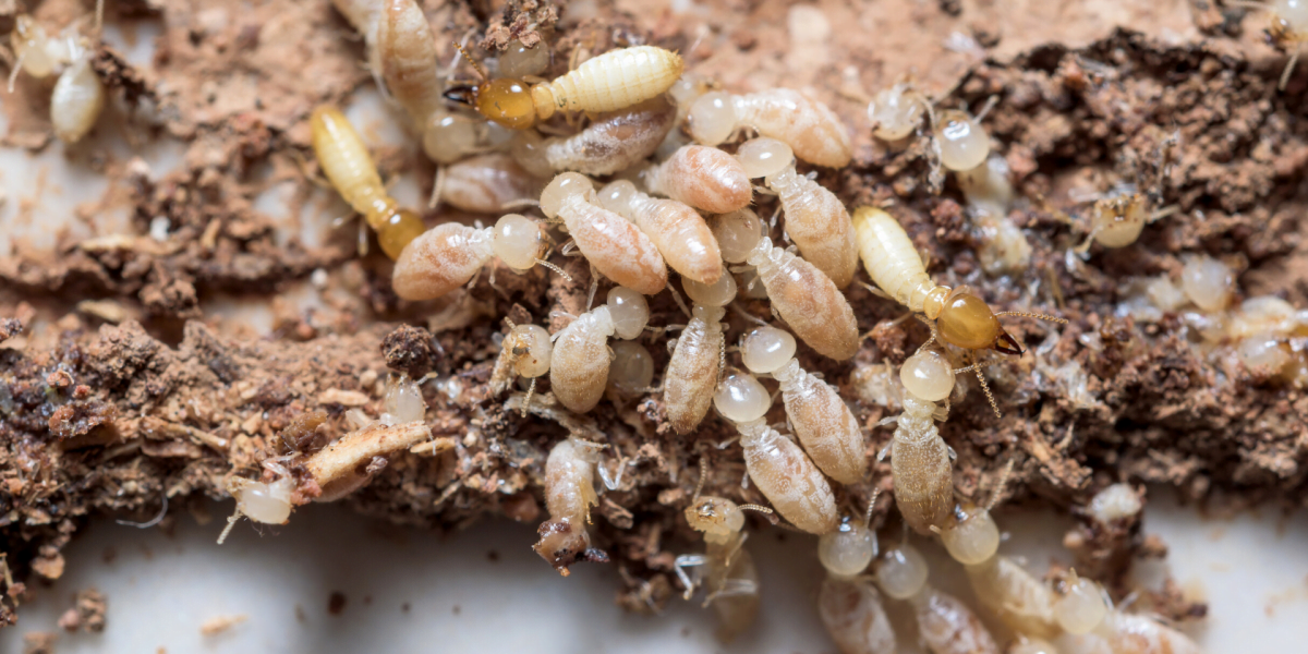 termite_inspections