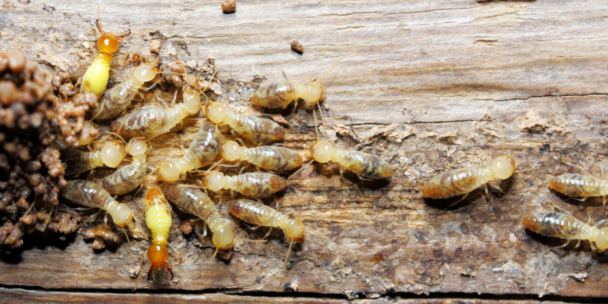 termites_treatments