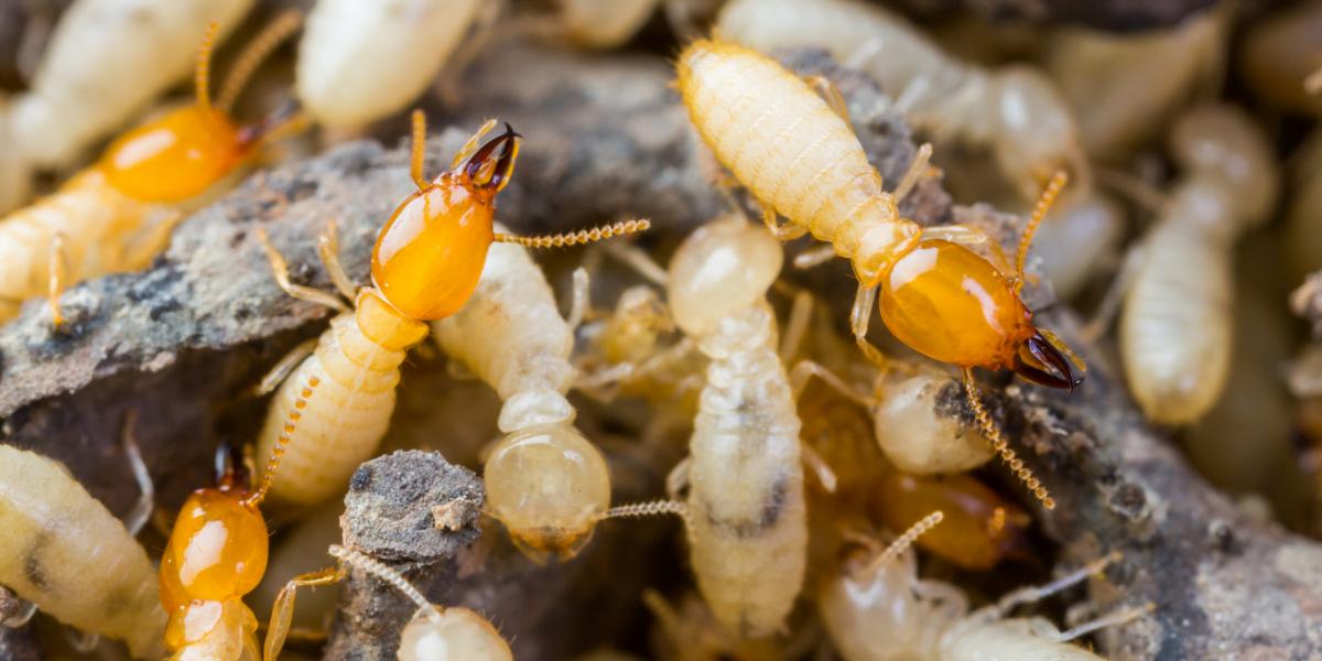 white_ants