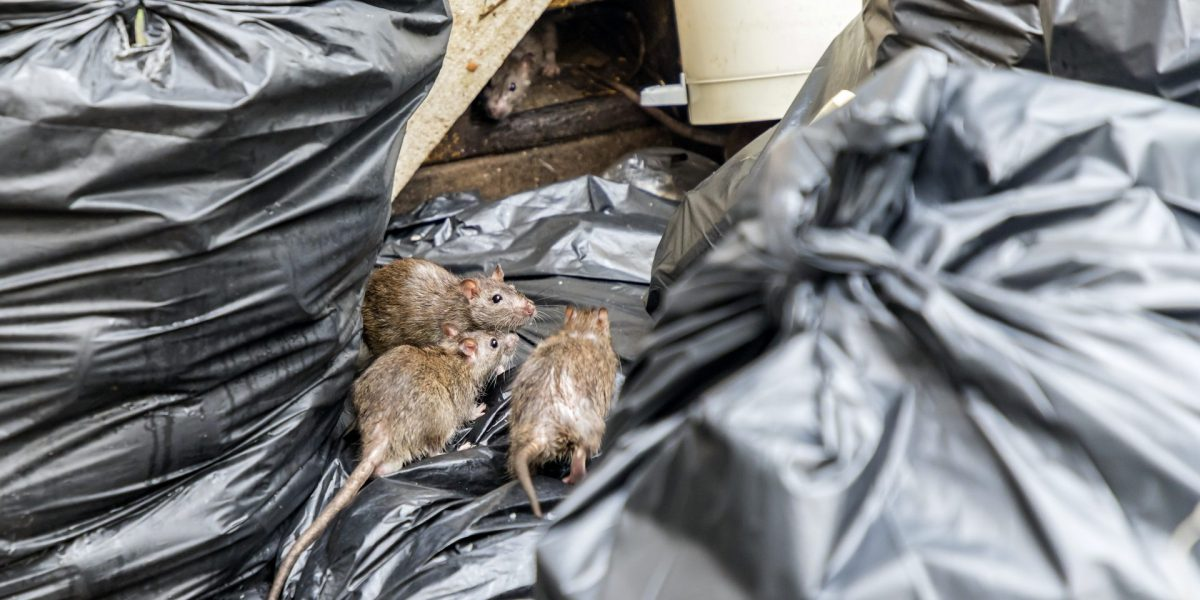 rat infestation in rubbish